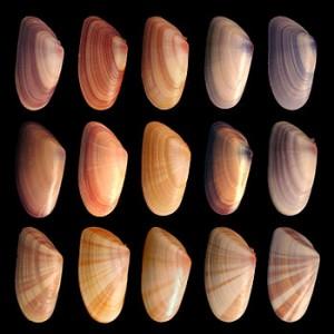 English: Various coquina shells. Individuals i...